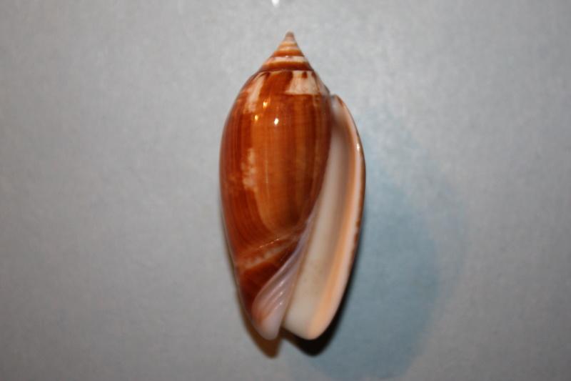Americoliva tisiphona (Duclos, 1844) 45-ame10