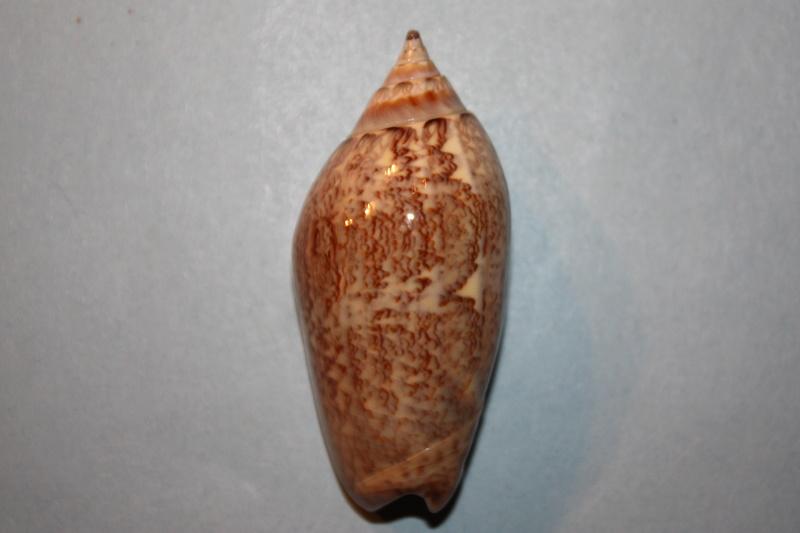 Americoliva tisiphona (Duclos, 1844) 47-ame10