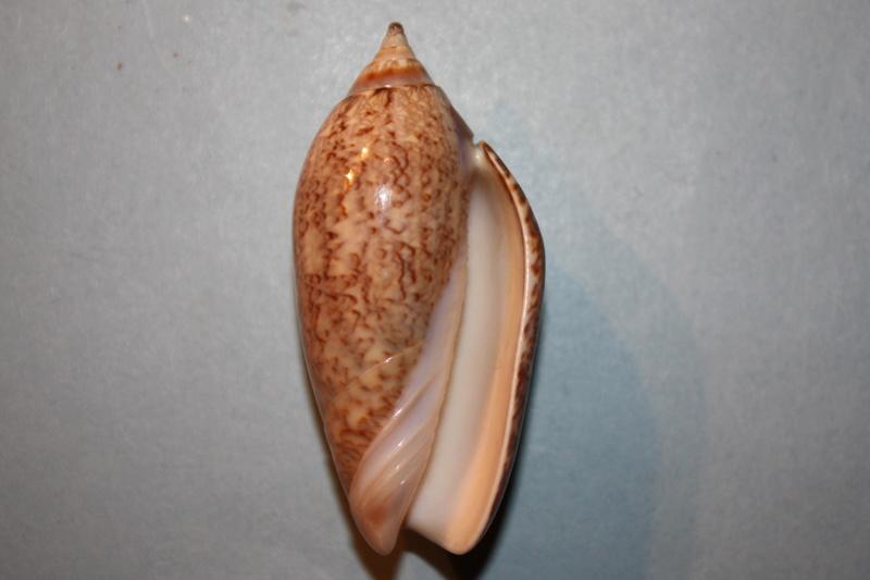 Americoliva tisiphona (Duclos, 1844) 48-ame10