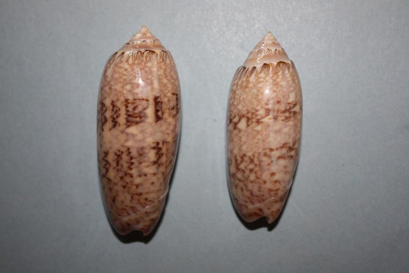 Americoliva bollingi maya (Petuch & Sargent, 1986) 5-amer10