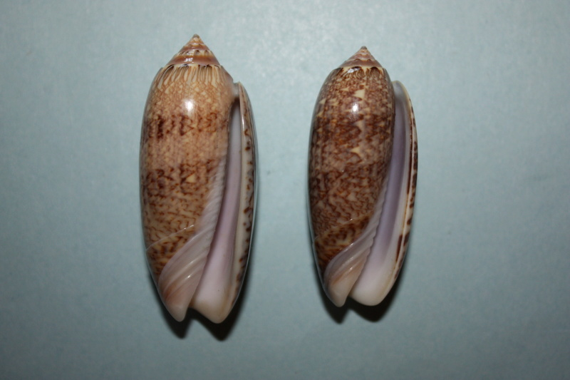 Americoliva bollingi goajira (Petuch & Sargent, 1986) - Worms = OLiva nivosa bollingi (Clench, 1934) 7-amer10
