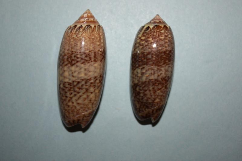 Americoliva bollingi goajira (Petuch & Sargent, 1986) - Worms = OLiva nivosa bollingi (Clench, 1934) 8-amer10