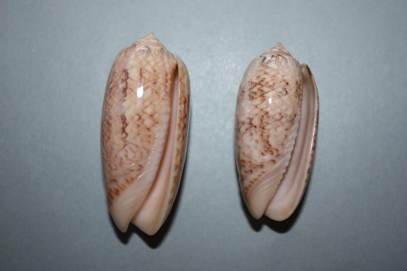 Americoliva contoyensis (Petuch & Sargent, 1986) 9_amer10