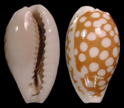 Cribrarula cribraria n.ssp - Sous-espèce non encore décrite des Iles Seychelles Cribra17