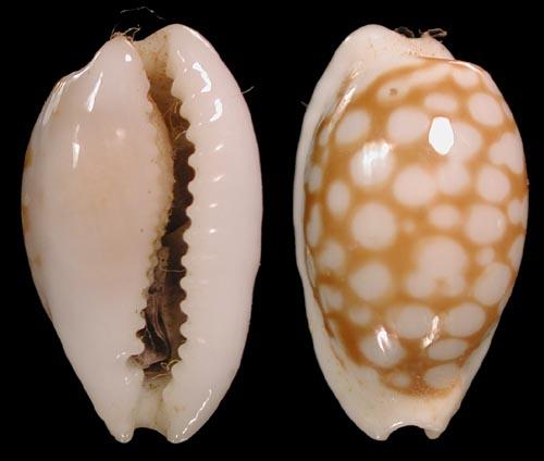 Cribrarula cribraria n.ssp - Sous-espèce non encore décrite des Iles Seychelles Cribra18