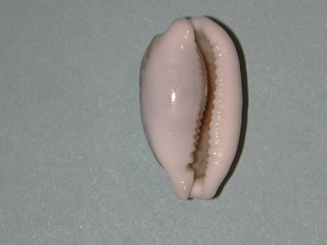 Cribrarula cribraria n.ssp - Sous-espèce non encore décrite des Iles Seychelles Cribra20
