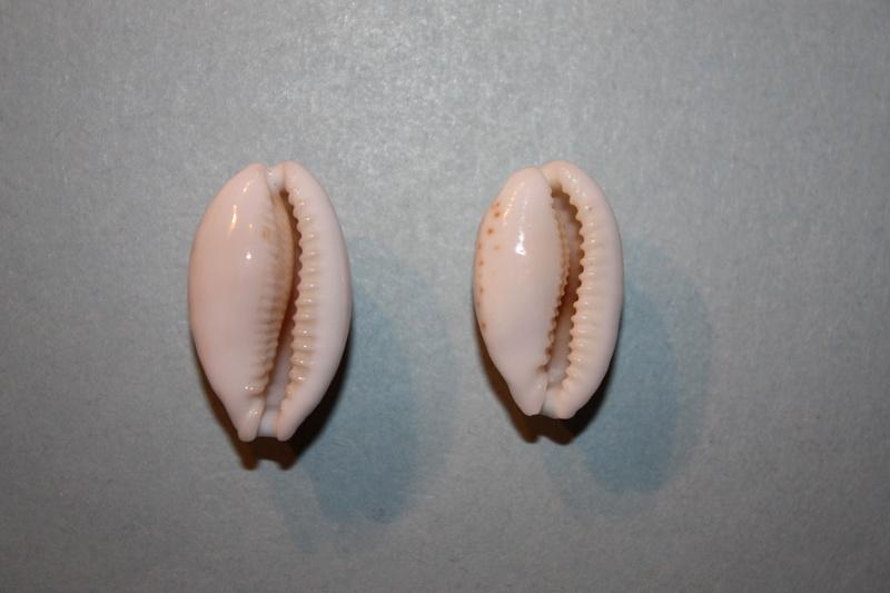 Cribrarula abaliena ganteri - Lorenz, 1997 Cribra30
