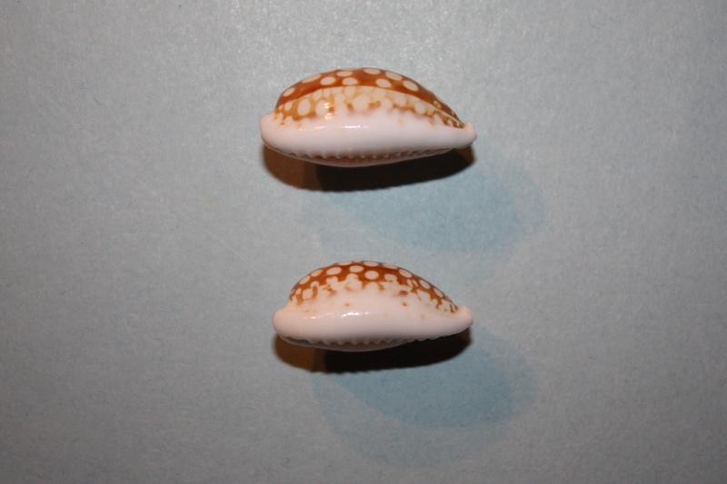 Cribrarula abaliena ganteri - Lorenz, 1997 Cribra31