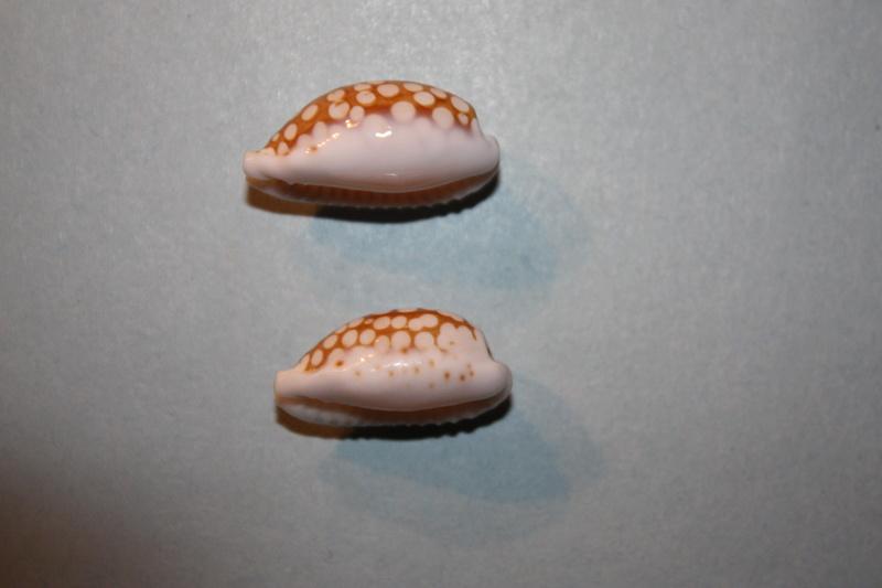 Cribrarula cribraria ganteri - Lorenz, 1997 Cribra32