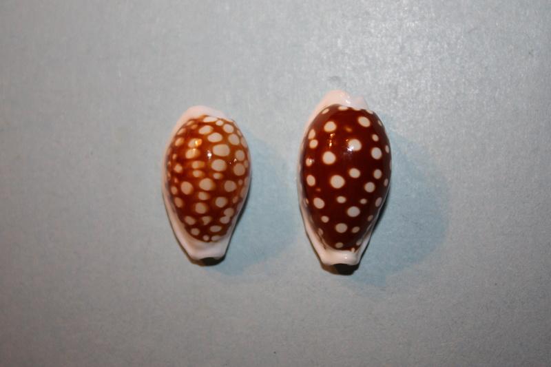 Cribrarula cribraria australiensis - Lorenz, 2002 Img_6615