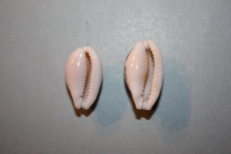 Cribrarula cribraria australiensis - Lorenz, 2002 Img_6616
