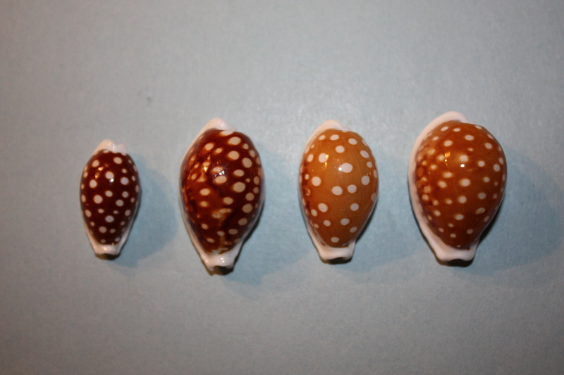 Cribrarula exmouthensis - (Melvill, 1888) Img_6622