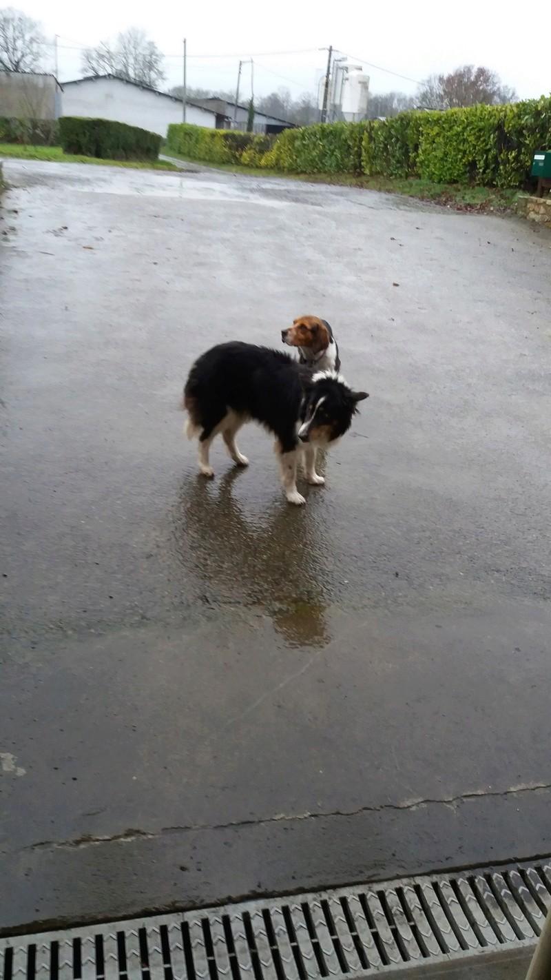 ELGA  beagle née 01/10/2014  adoptée par MARYLINE  ( 79 ) 20170118