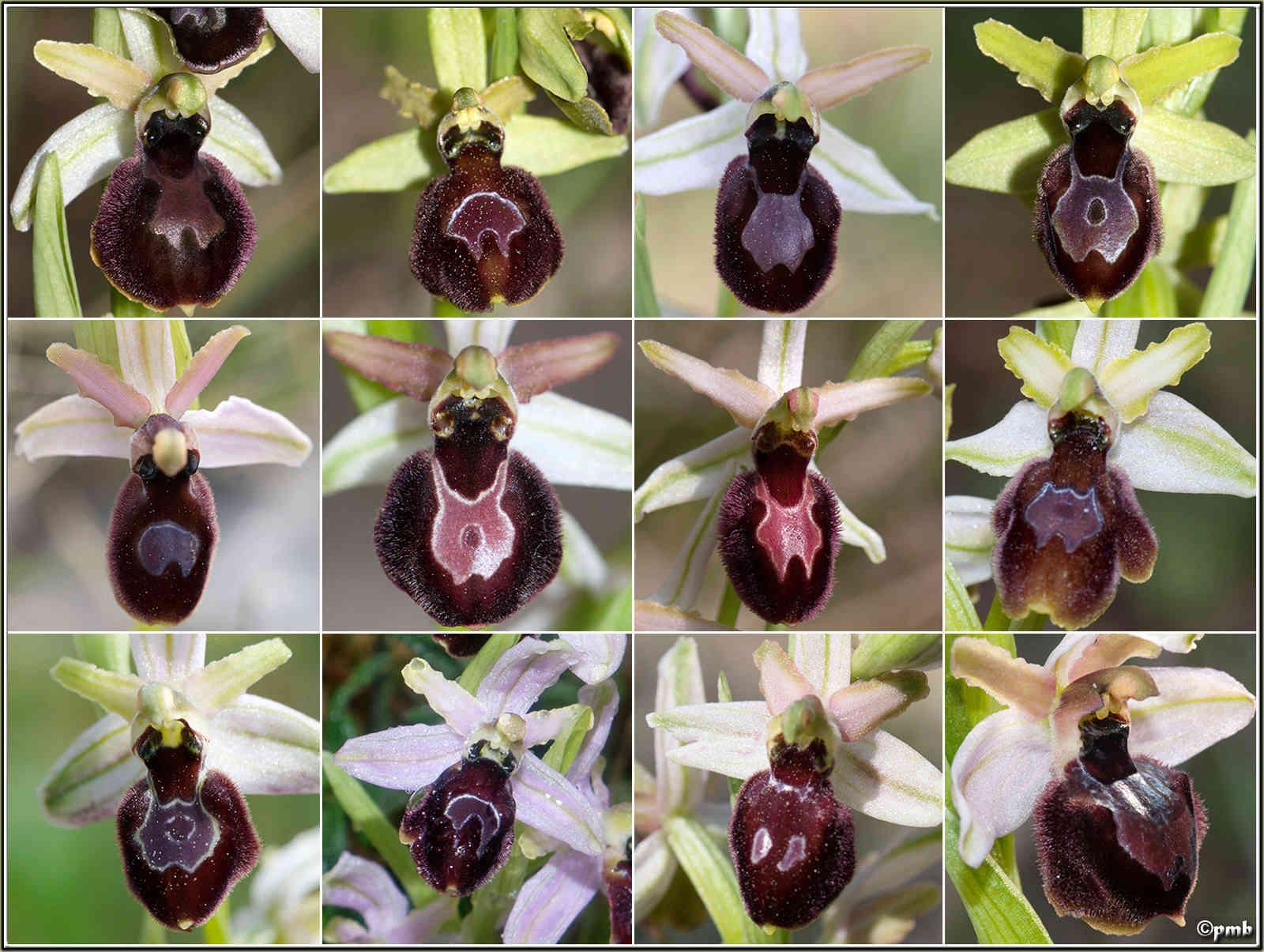 Un Ophrys fort sympathique... 2016-m10