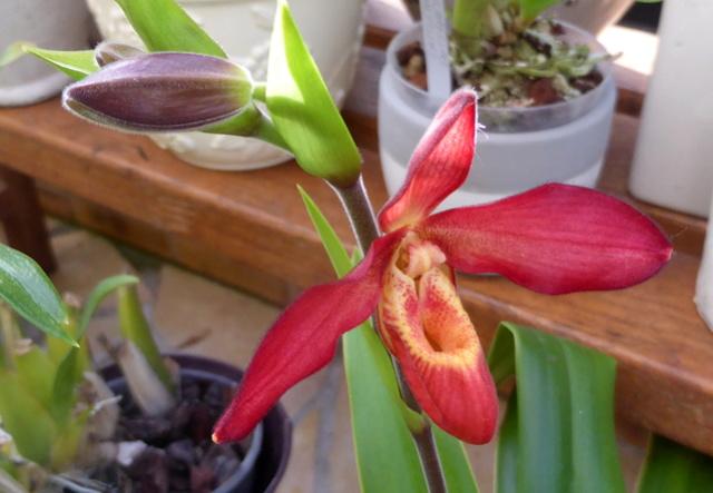 Quelques tropicales en fleurs, en ce moment 06-01-10
