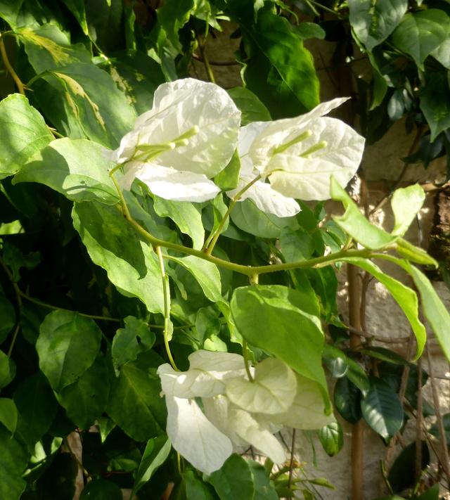 Quelques tropicales en fleurs, en ce moment 06-01-12