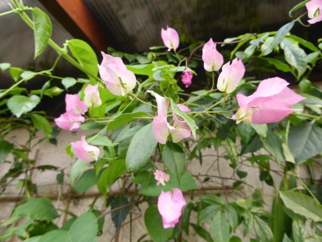 Quelques tropicales en fleurs, en ce moment 06-01-13