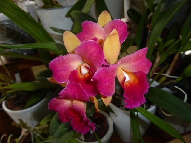 Quelques tropicales en fleurs, en ce moment 06-01-14