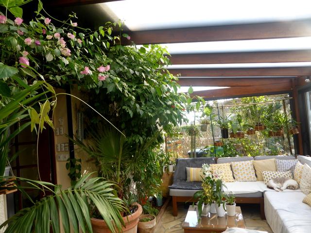 Quelques tropicales en fleurs, en ce moment 06-01-15