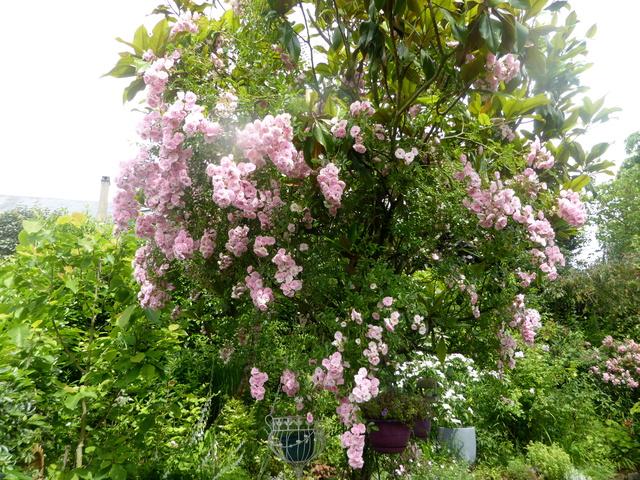 Quand un arbre de ville sert de support à une liane (Podranea ricosoliana) 11-06-10