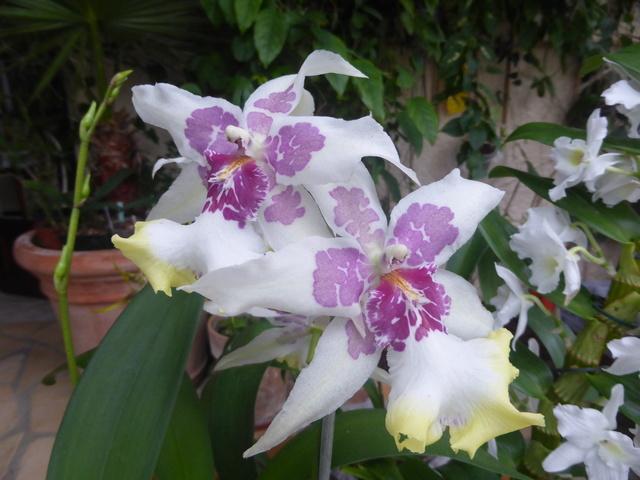 Quelques tropicales en fleurs, en ce moment 31-12-10