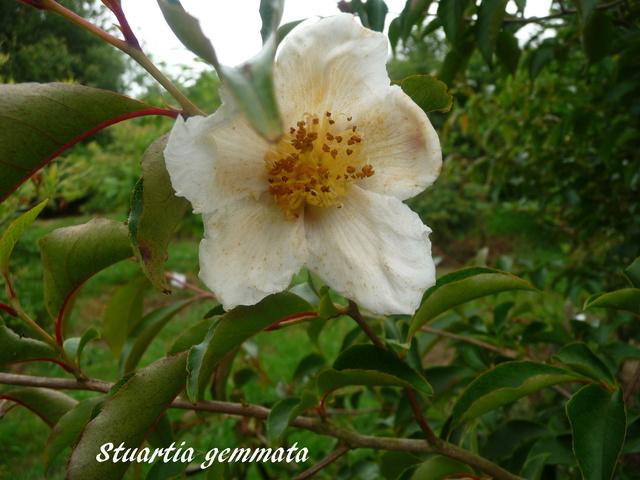 (29) Arboretum de Keracoual - Henvic  P1230434