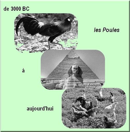les poules, 5000 ans déjà ! Photof10