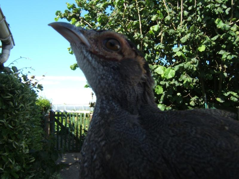 croisement hoki x faisan argenté Oiseau19