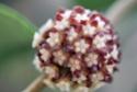 Hoya callîstophylla 00212