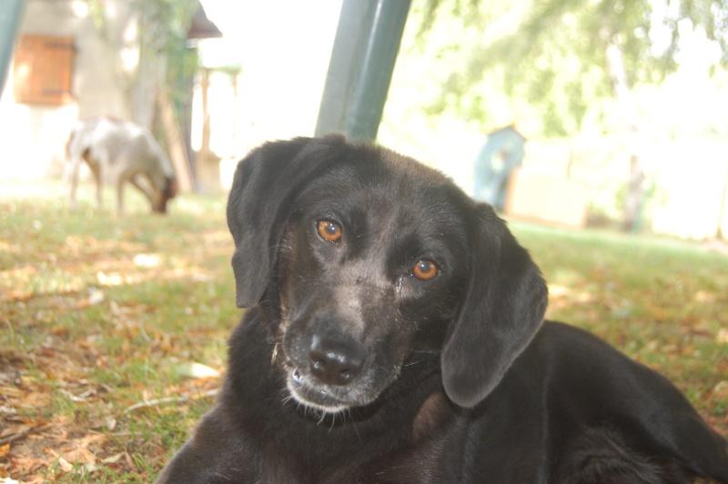 SISKA croisée labrador née en 01/07/2008 adoptée par FRANCINE  ( 79 ) Dsc_5312