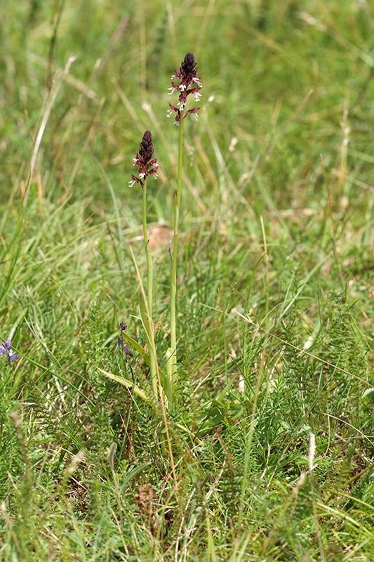 Neotinea ustulata subsp . aestivalis ( Orchis brûlé d'été ) Wo989411