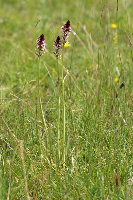 Neotinea ustulata subsp . aestivalis ( Orchis brûlé d'été ) Wo989510