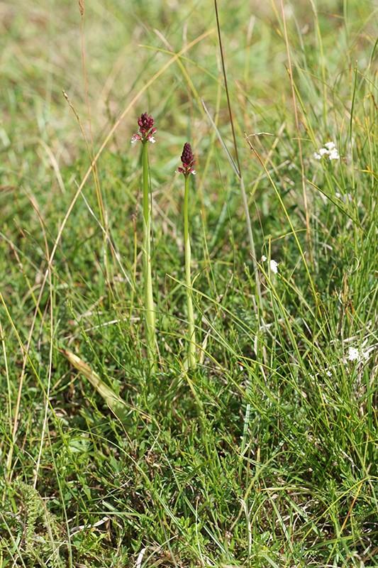 Neotinea ustulata subsp . aestivalis ( Orchis brûlé d'été ) Wo999610