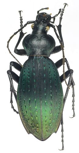 créer un forum : Entomo-coléos - Portail Apotom10