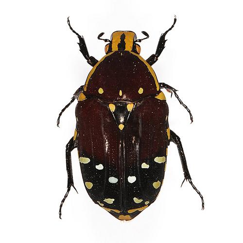 créer un forum : Entomo-coléos - Portail Cetoin11
