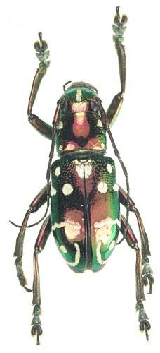 créer un forum : Entomo-coléos - Portail Col_ce10