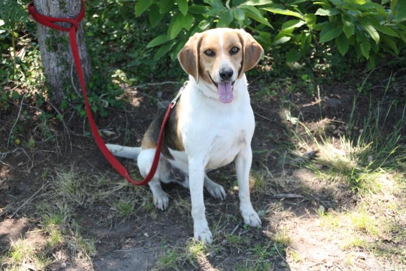 TAY, croisé courant/beagle, 3/4 ans (40) Img_4812