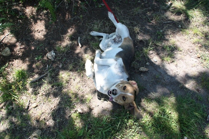 TAY, croisé courant/beagle, 3/4 ans (40) Img_4815