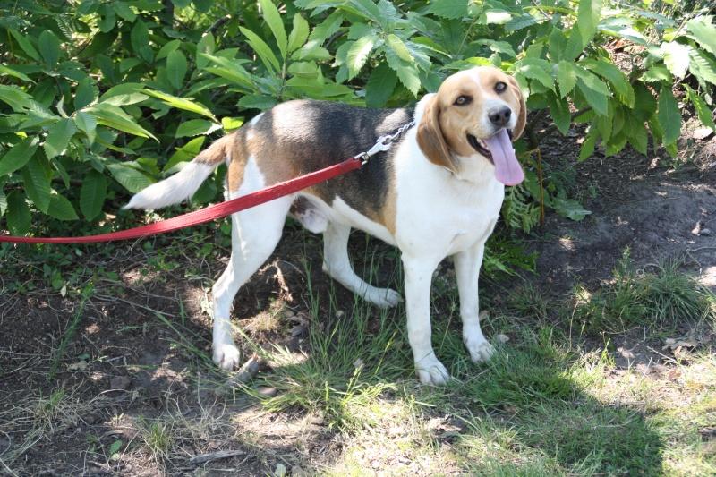 TAY, croisé courant/beagle, 3/4 ans (40) Img_4816