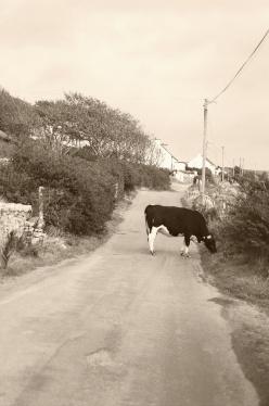 La Mia Irlanda Mucca210