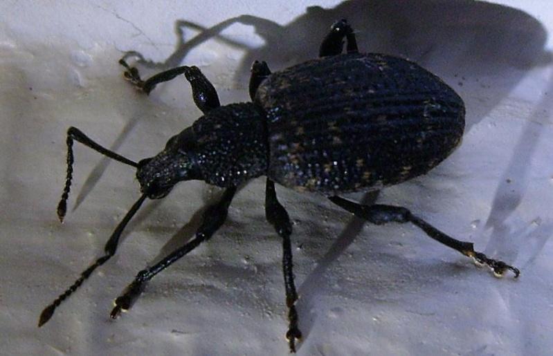 Coléoptère ou hémiptère ? Insect11