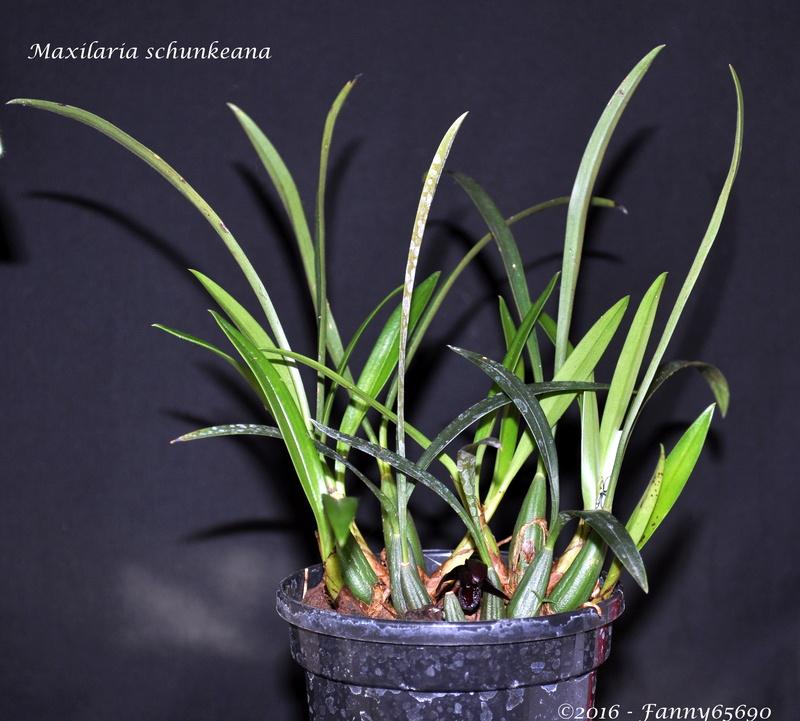 Maxillaria schunkeana Dsc_0077
