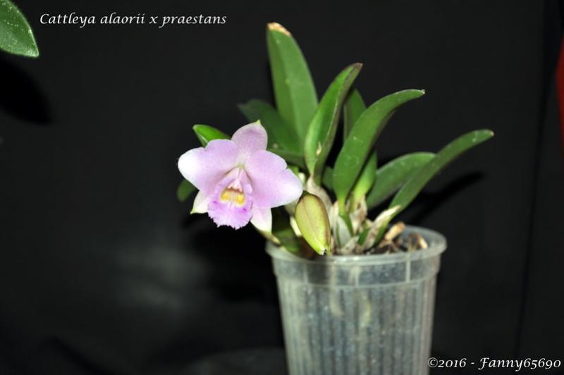 Cattleya alaorii x praestans Dsc_0080