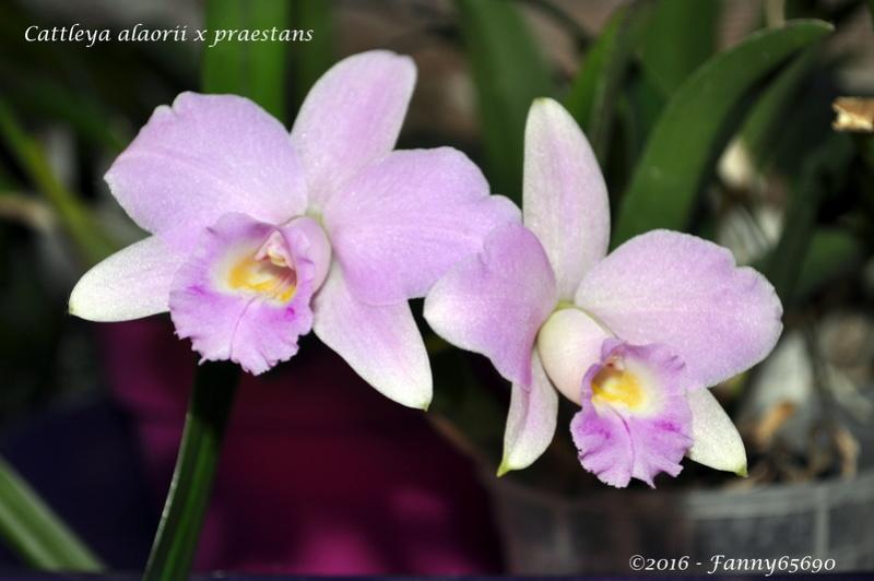 Cattleya alaorii x praestans Dsc_0085