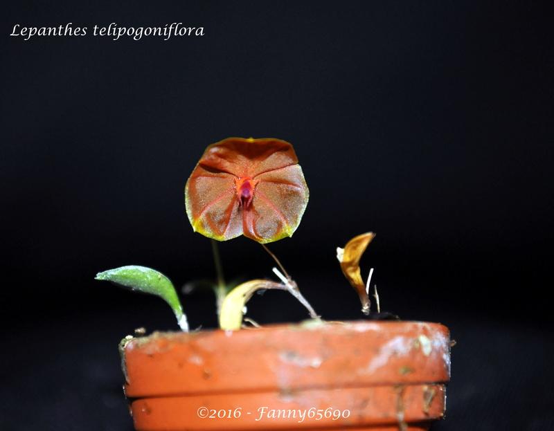 Lepanthes telipogoniflora Dsc_0092