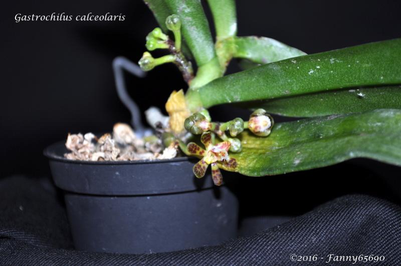 Gastrochilus calceolaris Dsc_0093