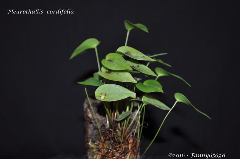 Pleurothallis cordifolia Dsc_0115