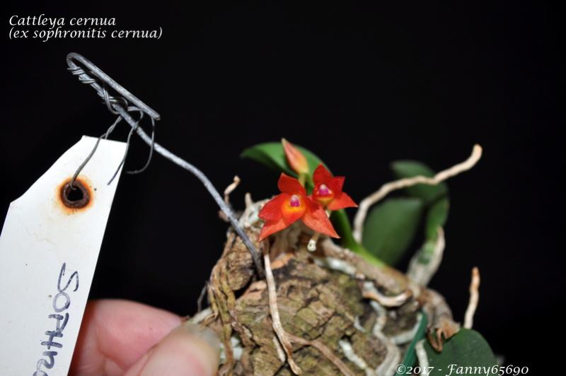 Cattleya cernua (ex sophronitis cernua) Dsc_0123