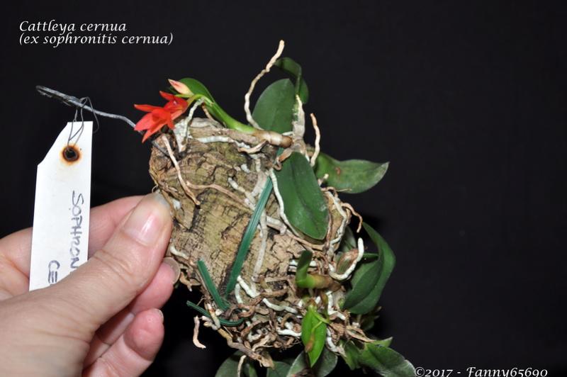 Cattleya cernua (ex sophronitis cernua) Dsc_0124