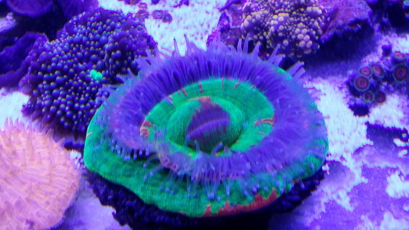 Navarchus Reef Tank - Page 3 20161114